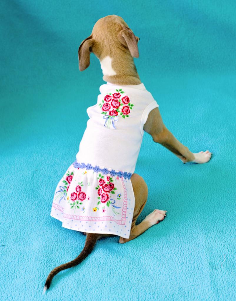 Como hacer un vestido a tu perrito con un pañuelo (3)